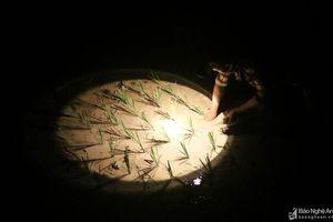 Tránh nắng nóng, người dân Nghệ An chong đèn nhổ mạ, cấy lúa đêm