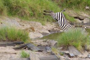 Ngựa vằn tung cú đá 'tuyệt đỉnh' khiến sư tử ngáo ngán rút lui