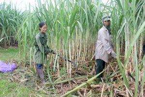 Nghệ An: Nhà máy đường 'đói' nguyên liệu