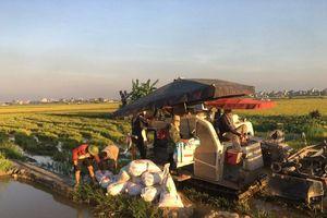 Nông dân Hà Nội thu hoạch lúa dưới cái nắng 'như đổ lửa'