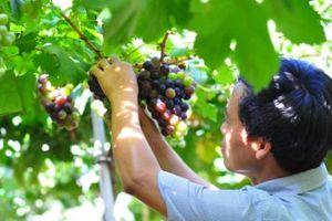Ninh Thuận biến nắng nóng thành lợi thế phát triển nông nghiệp công nghệ cao