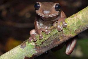Phát hiện loài ếch cây màu chocolate bí ẩn