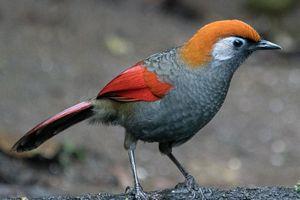 Sửng sốt trước vẻ đẹp của các loài chim khướu Việt Nam