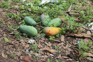 Nhà vườn gặp khó vì trái cây vụ hè rớt giá