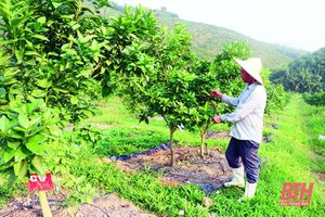 Huyện Như Xuân phát triển cây ăn quả theo hướng tập trung