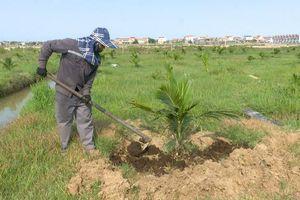 Xã Quảng Văn: Trồng thử nghiệm 4,8ha dừa xiêm trên đất hoang hóa