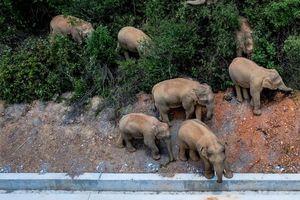 15 con voi đi 500 km, nông dân Trung Quốc thiệt hại hàng triệu USD