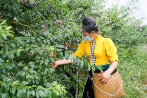 Ra mắt thương hiệu 'Mận hậu ruby Sơn La'