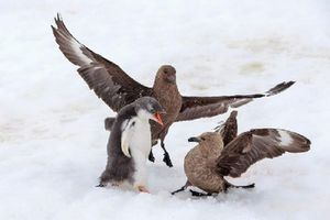 Cánh cụt non dũng cảm chiến đấu chống lại 2 con chim biển