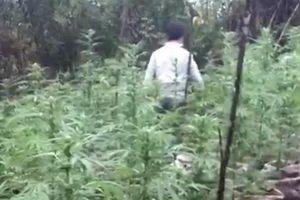 Đắk Nông: Phát hiện nhiều người dân trồng trái phép cây cần sa