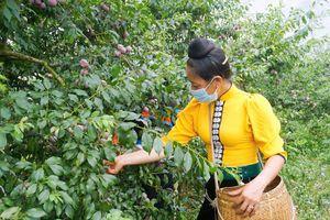Sơn La chính thức ra mắt thương hiệu 'Mận hậu Ruby Sơn La'