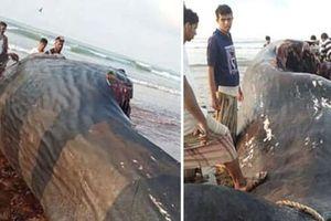 Nhóm ngư dân thoát nghèo nhờ tìm thấy 'bãi nôn cá voi'