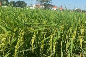 Giống nếp Hương và giống lúa chất lượng Hương Bình