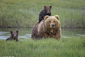 Chùm ảnh gấu nâu mẹ cõng con qua rạch