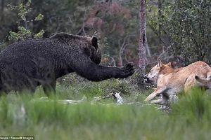 'Đại chiến' giành mồi của gấu nâu và bầy sói