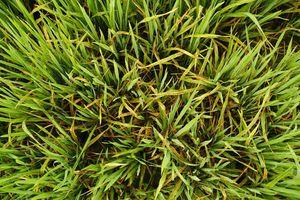Hơn 5.320 ha lúa Hè Thu ở Kiên Giang nhiễm sâu bệnh