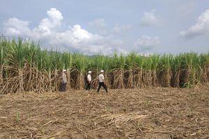 Khánh Hòa liên kết để phát triển bền vững vùng nguyên liệu mía