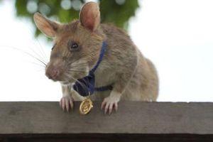 Chuột dò mìn nổi tiếng ở Campuchia chính thức... nghỉ hưu