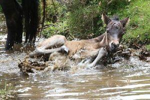Ngựa Dartmoor 'nếm trái đắng' vì quá nghịch ngợm