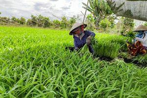 Diện tích gieo trồng rau màu và cây công nghiệp ngắn ngày giảm mạnh
