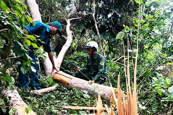 Rừng căm xe Ninh Tây được thí điểm giao khoán bảo vệ