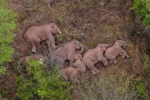 Đàn voi rừng Trung Quốc lăn ra ngủ sau hành trình 500 km