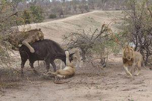 'Tận mục' màn xẻ thịt trâu rừng của bầy sư tử