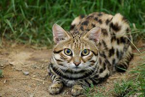 Điểm danh những loài mèo hoang dã ngầu nhất quả đất