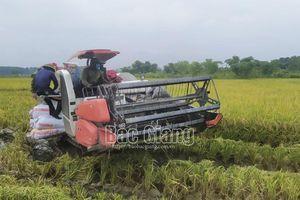 Bắc Giang: Thu hoạch hơn 60% lúa chiêm xuân, bảo đảm yêu cầu phòng dịch