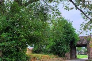 Ngôi làng cổ Xứ Đoài mang đậm dấu ấn thời gian làm say lòng du khách