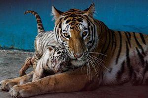 Vườn thú Havana giới thiệu con hổ trắng đầu tiên tại Cuba