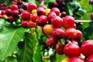 Giá cà phê hôm nay 9/6: Giảm sâu 500 - 600 đồng/kg
