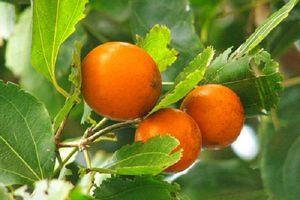 Loại quả giống hệt cam nhưng chứa chất độc chết người ở Việt Nam