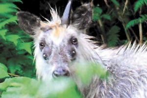 Sơn dương bốn mắt xuất hiện ở vùng núi Nhật Bản gây hoang mang