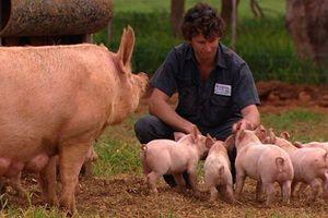 JBS mua lại công ty chế biến thịt lợn hàng đầu của Australia