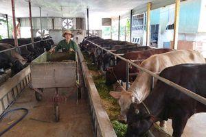 Đẩy mạnh chăn nuôi bò thịt thương phẩm