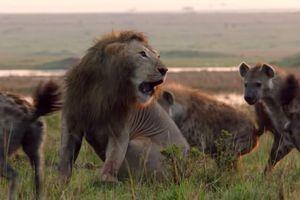 Giữa lúc nguy nan, sư tử 'tả xung hữu đột' giải cứu người bạn khỏi vòng vây của bầy linh cẩu khát máu