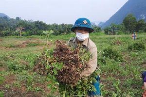 Chuyển lúa trồng lạc, hiệu quả cao gấp 3 lần