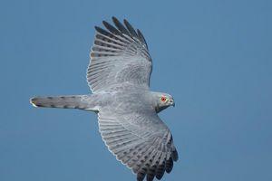 Điểm danh những loài chim săn mồi dũng mãnh nhất Việt Nam