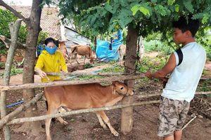 Kon Tum thực hiện các biện pháp ngăn chặn bệnh viêm da nổi cục trên bò