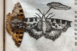 Cánh bướm 400 năm tuổi vẹn nguyên trong sách cổ