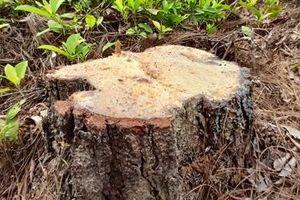 Lợi dụng khai thác để phá rừng