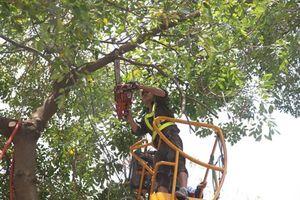 Cần chặt hạ cây đã chết khô