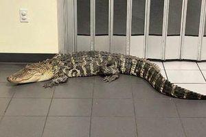 Cá sấu xâm nhập bưu điện, gấu đen mắc kẹt trên trần nhà máy ở Mỹ