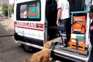 Cảm động chú chó đuổi theo xe cấp cứu đưa chủ nhân đến bệnh viện