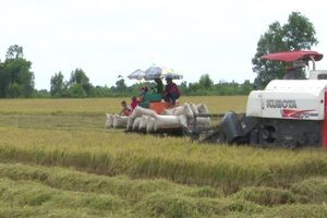 Giá lúa gạo hôm nay 11/6: Giá lúa Hè thu thu hoạch sớm giảm