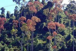 Ươi trúng mùa, Quảng Nam tăng cường bảo vệ rừng