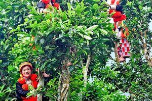 Nâng tầm cây Chè Shan tuyết Na Hang
