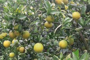 Người dân trồng cam ở Tây Phong thi đua làm giàu chính đáng
