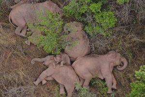 Lời cảnh báo với Trung Quốc từ đàn voi 'di cư' bất thường